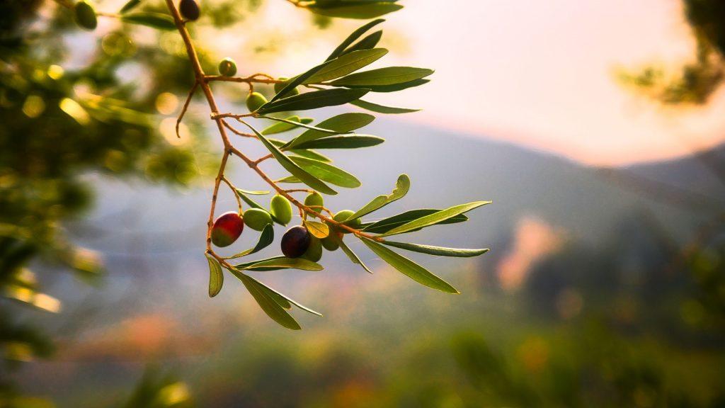 Istrisches Olivenöl der Weltklasse